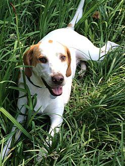 Treeing Walker Coonhound Mix Dog for adoption in Norfolk, Virginia - Cody