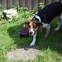 Adopt A Pet :: Cruella - Sparta, NJ