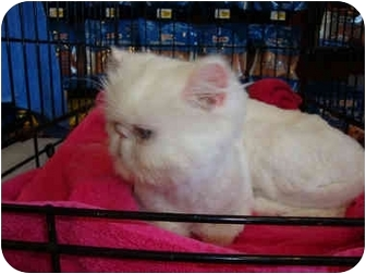 Persian Cat for adoption in Beverly Hills, California - Leela