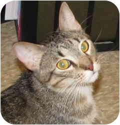 American Shorthair Cat for adoption in Tulsa, Oklahoma - BooLee
