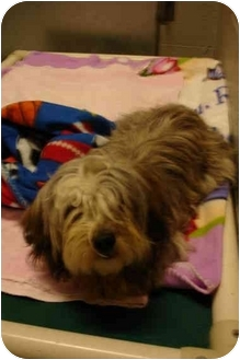 Lhasa Apso Mix Dog for adoption in Grants Pass, Oregon - Tia Rose