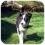 Photo 3 - Australian Shepherd Mix Puppy for adoption in Blacksburg, Virginia - Sprite