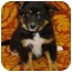 Photo 1 - Collie Mix Puppy for adoption in Westminster, Colorado - Cyprus