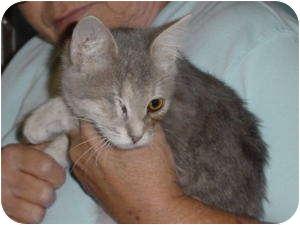Domestic Shorthair Kitten for adoption in McDonough, Georgia - Odie