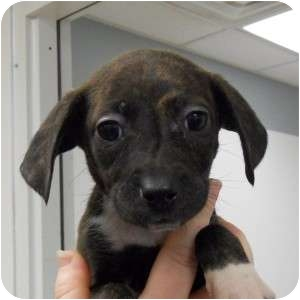 Collie/Retriever (Unknown Type) Mix Puppy for adoption in Naperville, Illinois - Olivia's Pup - Snickers