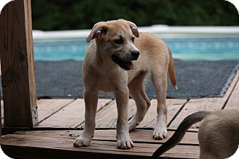 Jack Russell Terrier/Italian Greyhound Mix Puppy for adoption in Prince William County, Virginia - paisley