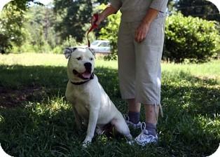 American Bulldog Mix Dog for adoption in Norwalk, Connecticut - Swanky Tank