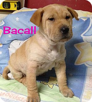 Shar Pei Mix Puppy for adoption in Houston, Texas - Bacall