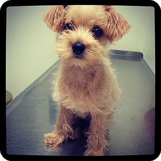 Terrier (Unknown Type, Small) Mix Puppy for adoption in Rancho Cucamonga, California - gigi