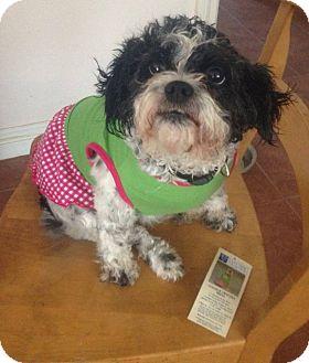 Shih Tzu/Poodle (Miniature) Mix Dog for adoption in Seattle, Washington - Kaili