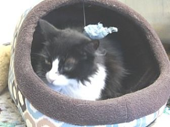 Domestic Shorthair Cat for adoption in Libby, Montana - Honey