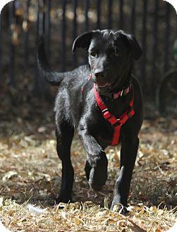 Labrador Retriever Mix Puppy for adoption in Winters, California - Cindy