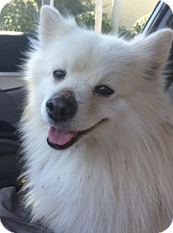 American Eskimo Dog Dog for adoption in Palmetto Bay, Florida - Snowball