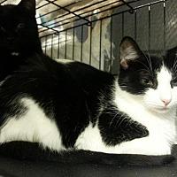 Domestic Shorthair Cat for adoption in Brainardsville, New York - Delilah