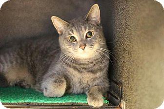 Domestic Shorthair Cat for adoption in Midland, Michigan - Bailey - NO FEE