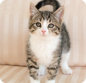 Domestic Shorthair Kitten for adoption in Chicago, Illinois - Donovan