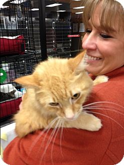 Domestic Mediumhair Cat for adoption in EASLEY, South Carolina - Shorty