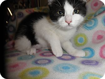 Domestic Shorthair Kitten for adoption in Highland Park, New Jersey - Billie Bounce