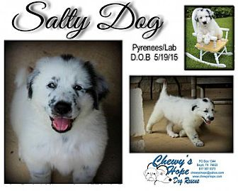 Great Pyrenees/Labrador Retriever Mix Puppy for adoption in Boyd, Texas - Salty Dog