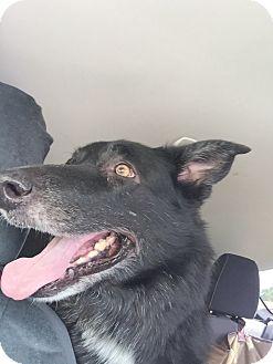 German Shepherd Dog Dog for adoption in Las Vegas, Nevada - Kahula