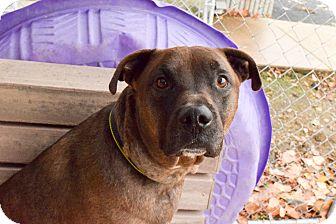 Labrador Retriever/Pit Bull Terrier Mix Dog for adoption in Meridian, Idaho - Rebel