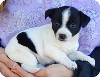 Boston Terrier/Australian Shepherd Mix Puppy for adoption in Williamsport, Maryland - Dalia (3 lb) Video!