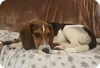 Beagle Mix Puppy for adoption in WESTMINSTER, Maryland - Gummi