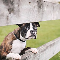Adopt A Pet :: Dexter - Pitt Meadows, BC
