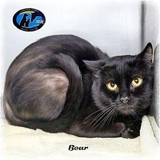 Domestic Mediumhair Cat for adoption in Howell, Michigan - Bear