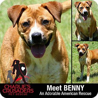 Boxer/Labrador Retriever Mix Dog for adoption in Spring City, Pennsylvania - Benny