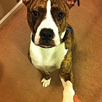 American Staffordshire Terrier/Pit Bull Terrier Mix Dog for adoption in Villa Park, Illinois - Flipside