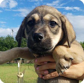 Labrador Retriever Mix Puppy for adoption in San Antonio, Texas - Rachel Green
