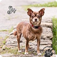 Adopt A Pet :: Sis - Cincinnati, OH
