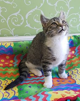 Domestic Shorthair Kitten for adoption in Red Wing, Minnesota - Scarlett