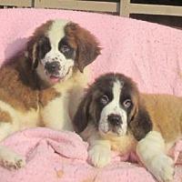 Adopt A Pet :: M & F PURE SAINT BERNARDS - WOODSFIELD, OH