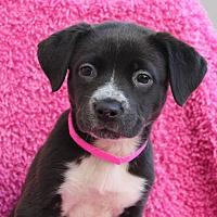 Adopt A Pet :: Little Roti - Los Angeles, CA