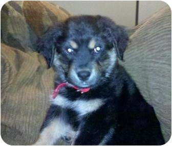 Shepherd (Unknown Type) Mix Puppy for adoption in Old Bridge, New Jersey - Banning