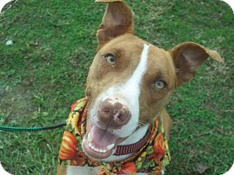 Pit Bull Terrier Mix Dog for adoption in Conway, Arkansas - Christopher