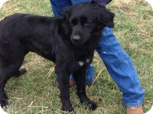 Golden Retriever Mix Dog for adoption in Denver, Colorado - Blacky