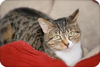Domestic Shorthair Cat for adoption in Trevose, Pennsylvania - Ruby