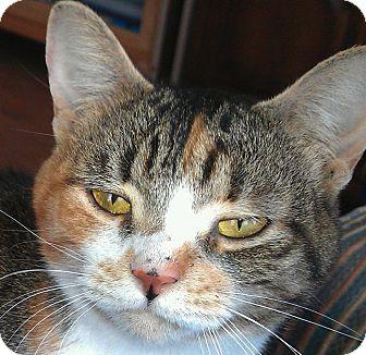 Manx Cat for adoption in Flagstaff, Arizona - Juliette