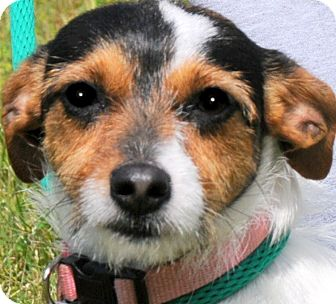 Terrier (Unknown Type, Small) Mix Dog for adoption in Wakefield, Rhode Island - PINKY(TINY SCRUFFY LITTLE PUP!