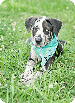 Catahoula Leopard Dog/Great Dane Mix Puppy for adoption in Portsmouth, Rhode Island - Phinneas-w/video!