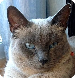Siamese Cat for adoption in Novato, California - Simone