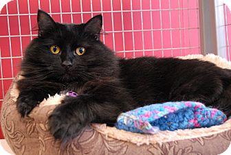 Domestic Longhair Cat for adoption in Winchendon, Massachusetts - Ed