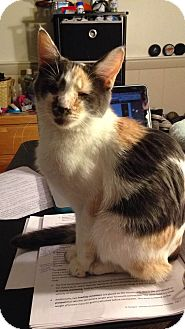Domestic Shorthair Kitten for adoption in Columbus, Ohio - Marianne - Good with Dogs