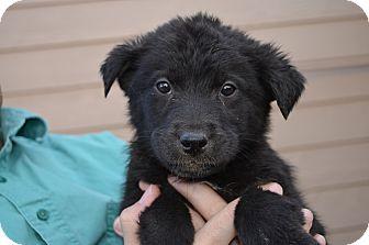 Labrador Retriever Mix Puppy for adoption in Westminster, Colorado - Easton