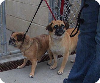 Pug/Chihuahua Mix Dog for adoption in Freedom, Pennsylvania - Minnie