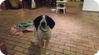 Treeing Walker Coonhound Dog for adoption in Providence, Rhode Island - Molly