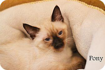 Siamese Kitten for adoption in Everman, Texas - Pony